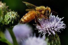 La sauvegarde des pollinisateurs : un enjeu nord-américain - carrousel