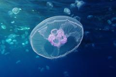 Jellyfish at Gota Sagher