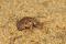 Larve de fourmilion au ras du sol