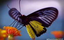 Papillons en liberté - Troides plateni