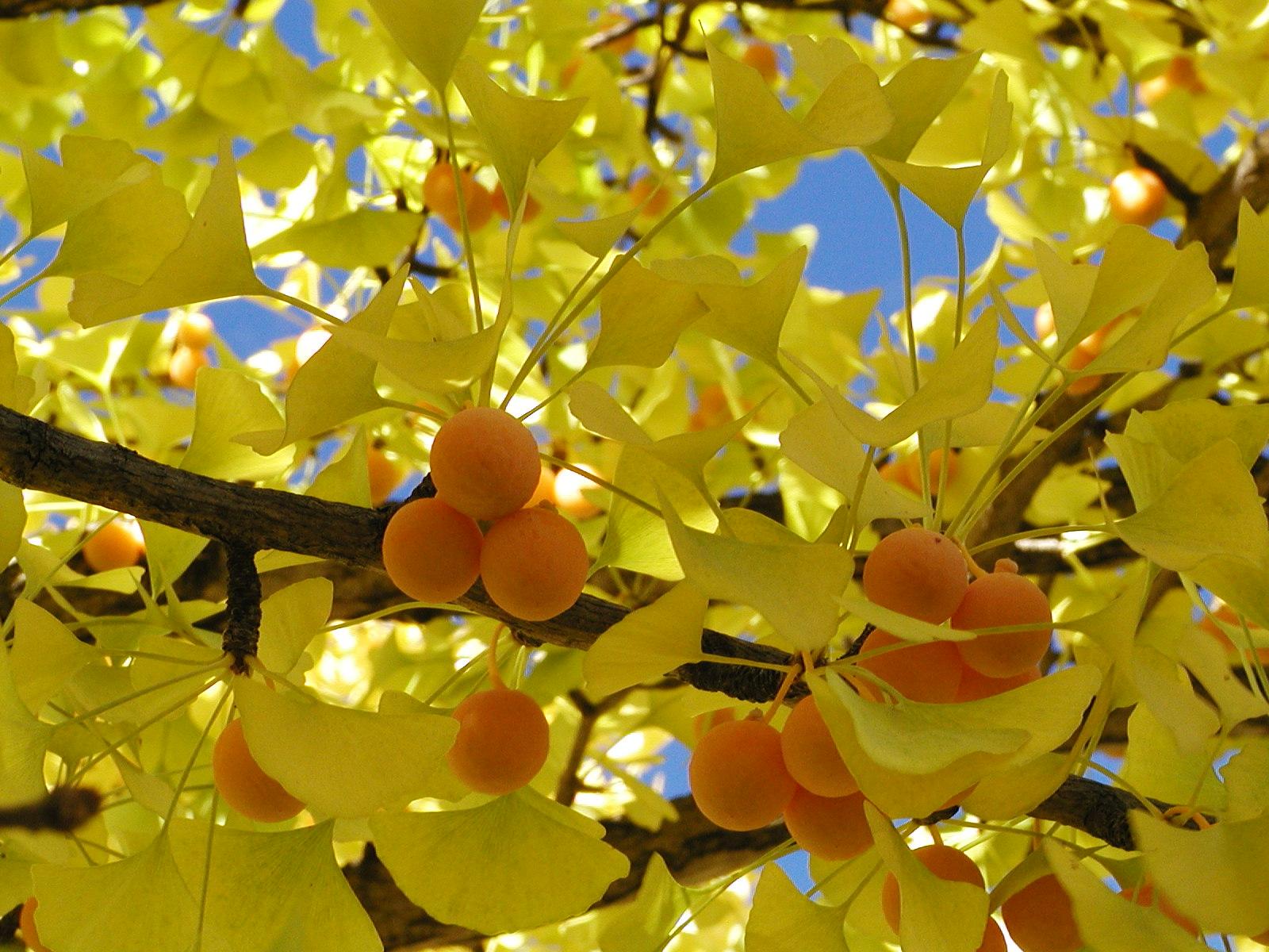 ginkgo grow biloba to tree how
