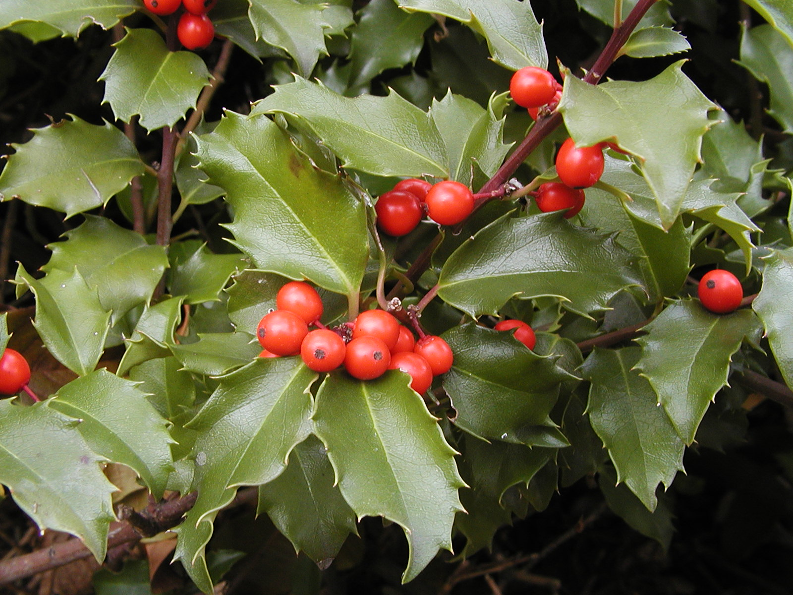 FRESH LIVE Watered AMERICAN HOLLY BOUGHS//CUTTINGS