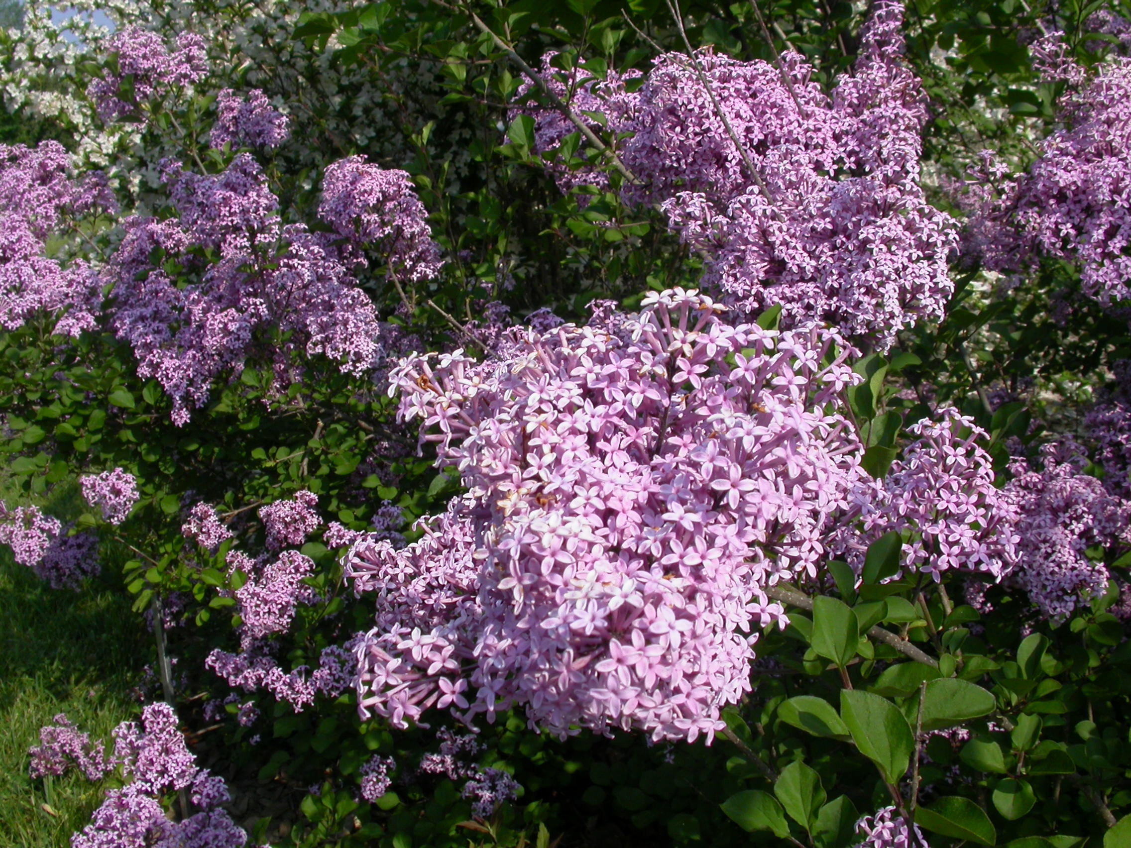 Pruning Lilacs Space For Life