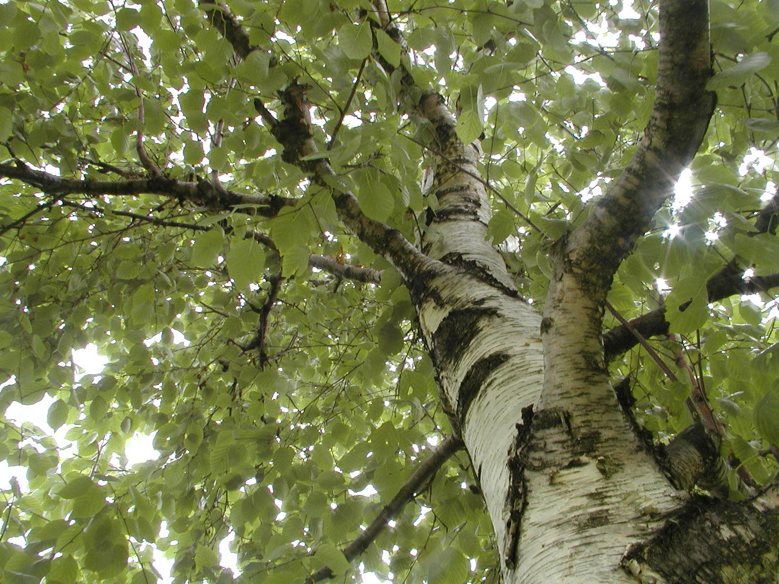 taille des arbres feuillus | espace pour la vie