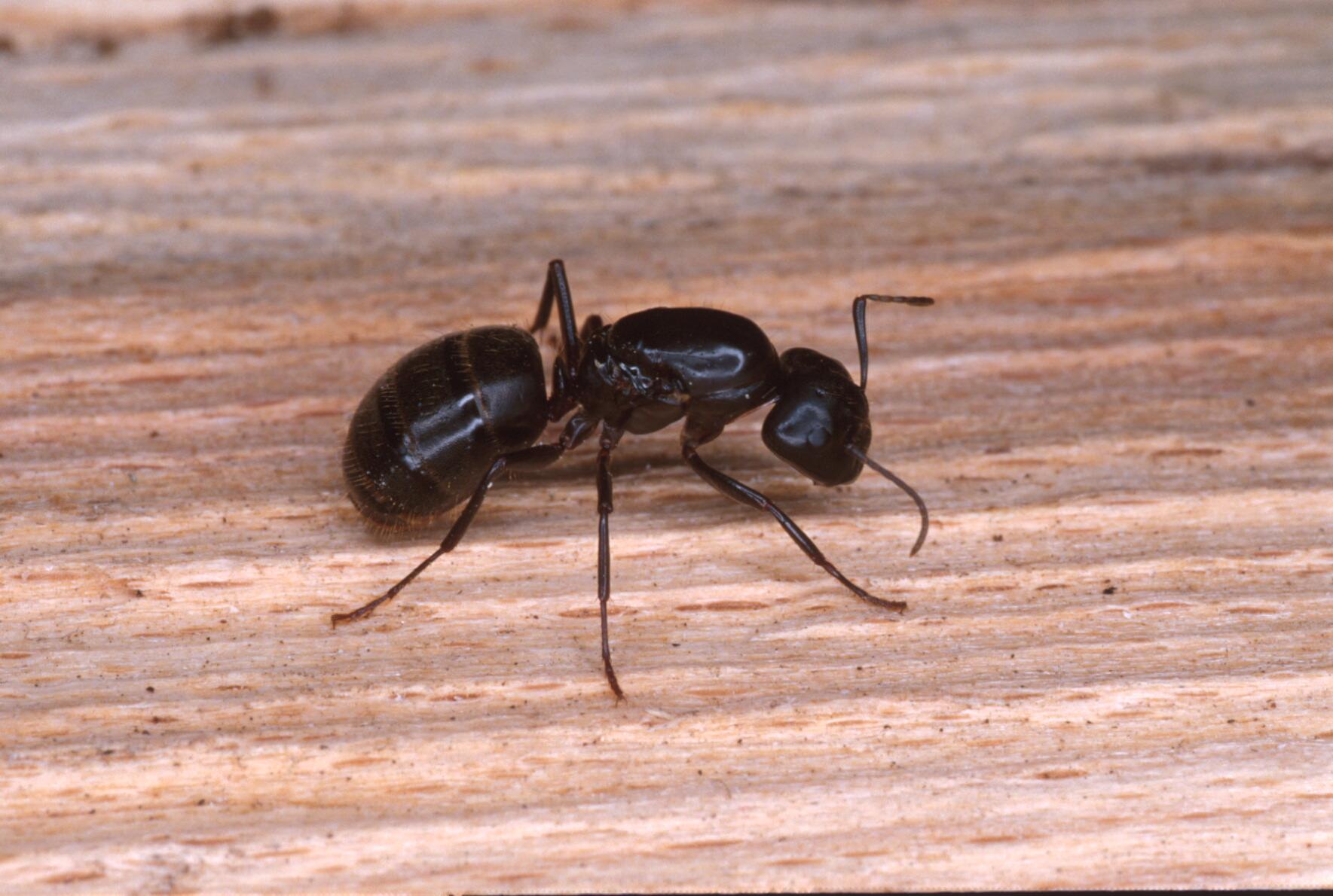 Grosses Fourmis Noires Dans Le Jardin prévention et contrôle | espace pour la vie