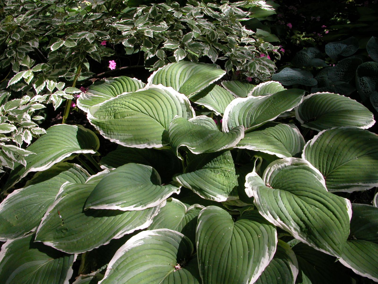 Arbuste Terrain Sec Ombre plantes pour jardins ombragés | espace pour la vie