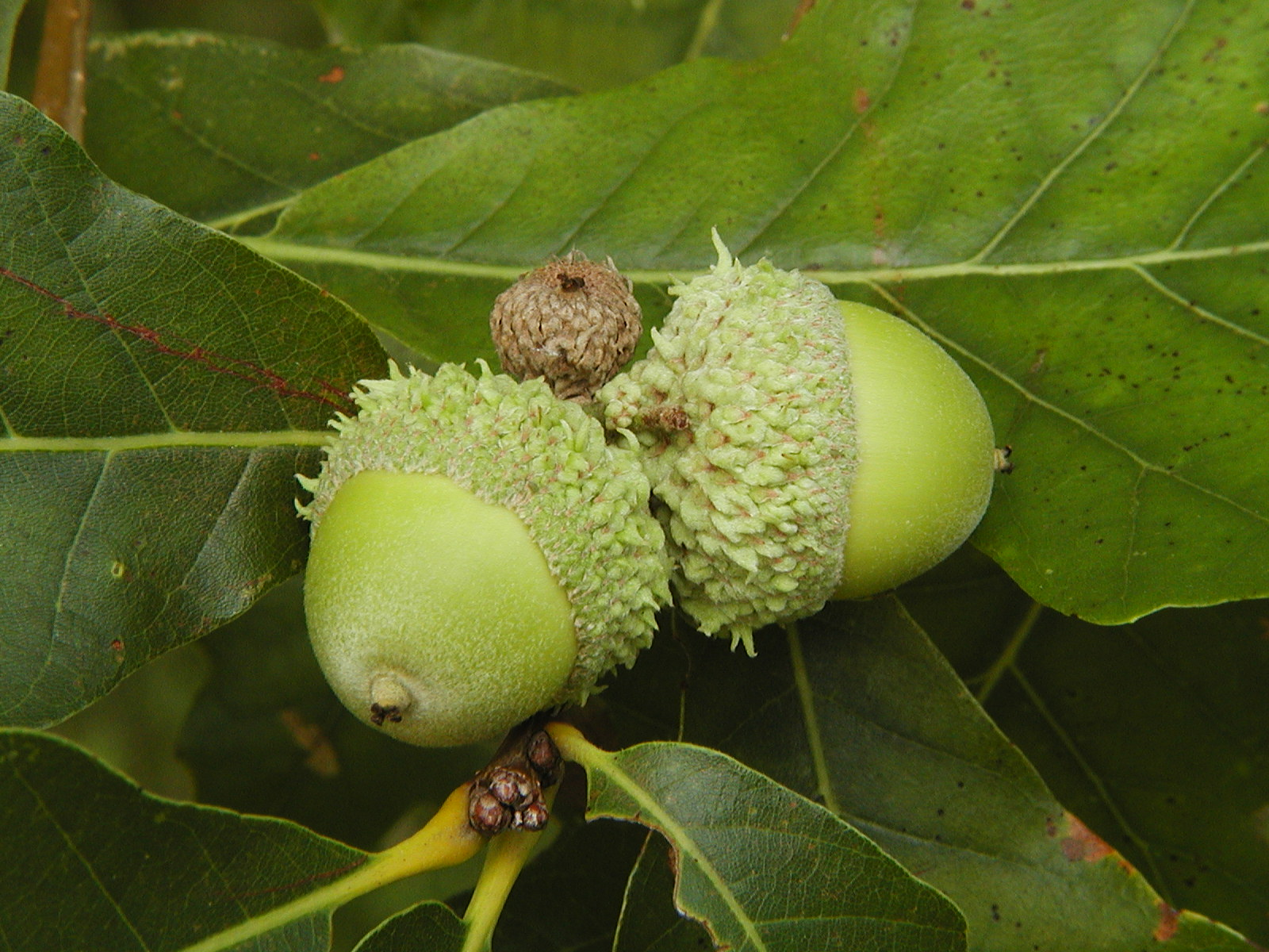 Types of Magnolia Tree with Pictures, Facts about Flowering Oak tree seeds pictures