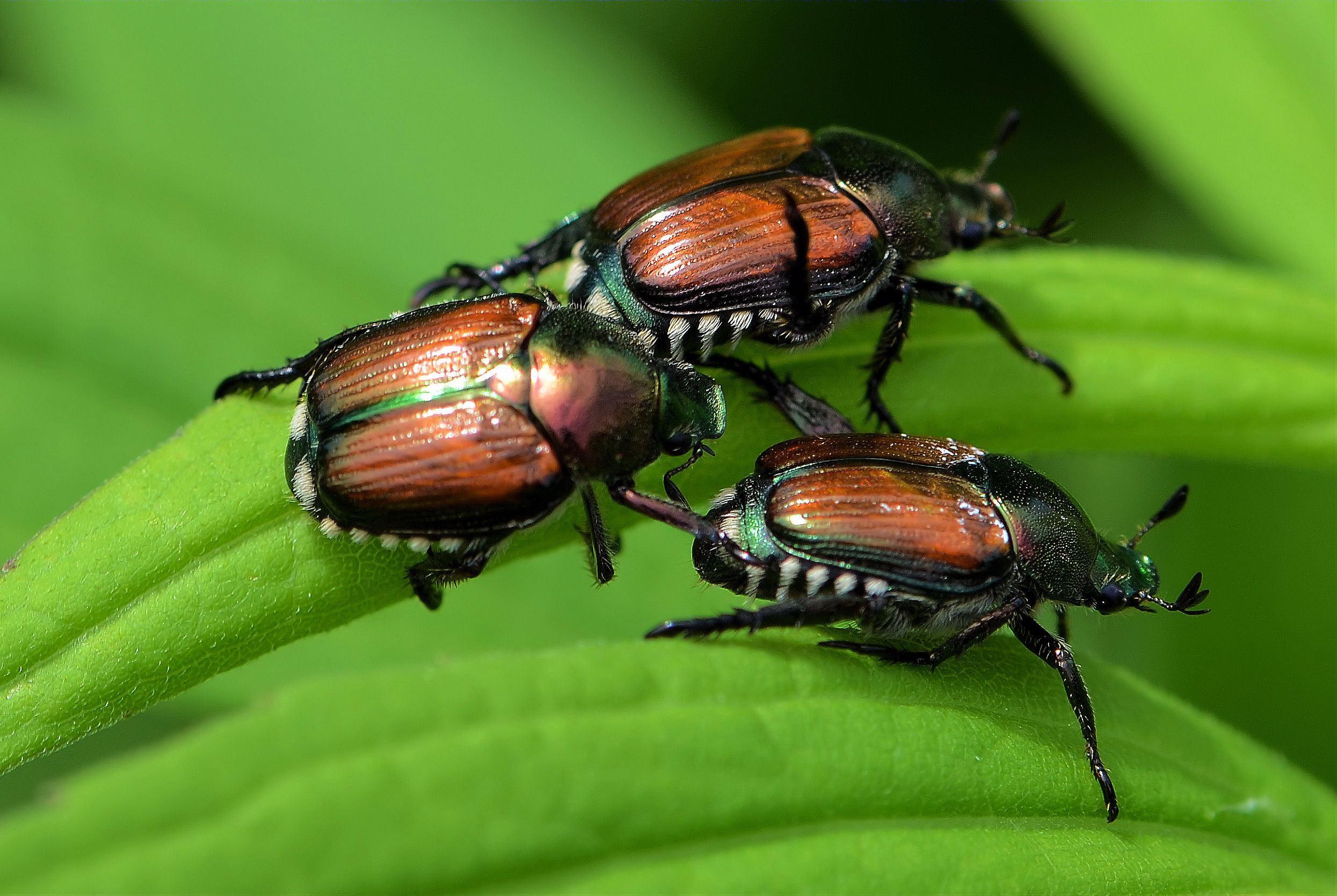 Comment Éloigner Les Mouches À L Extérieur coléoptères | espace pour la vie