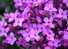 Daphne cneorum 'Ruby Glow'.