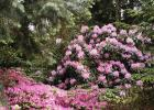 Rhododendron 'Fundy'.
