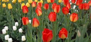 Tulipa sp.