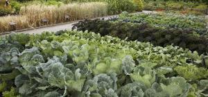 Brassica sp.