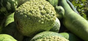 Calabash (gourd)