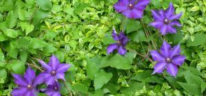 Plantes Grimpantes Espace Pour La Vie