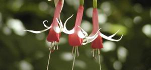 Fuchsia 'Checkerboard'