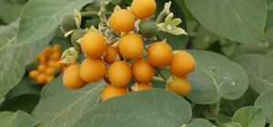 Dwarf tamarillo fruits