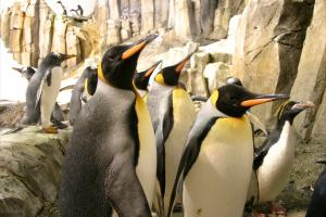King penguins (Aptenodytes patagonica).