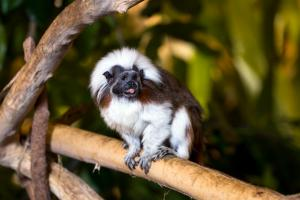Cotton-top Tamarin (Saguinus oedipus) in the Tropical Rainforest at the Biodôme
