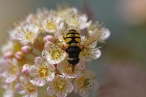 The black and yellow colors as well as the presence of a single pair of wings confirm that this is a syrphid.