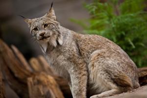 Lynx canadensis