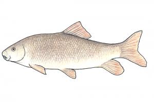 Moxostoma hubbsi
