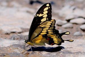 Giant Swallowtail 'Papilio cresphontes'