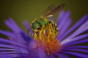 Pollinisateur, hyménoptères