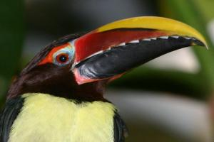 Pteroglossus viridis