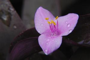 Tradescantia pallida 'Purple Heart'.