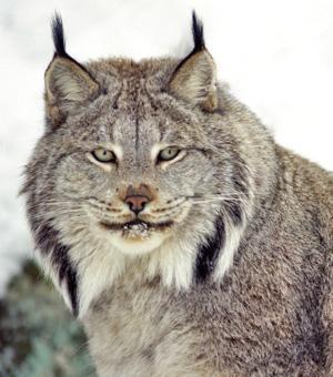 Canada lynx - Lynx canadensis