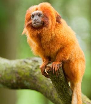 Tamarin-lion doré - Leontopithecus rosalia