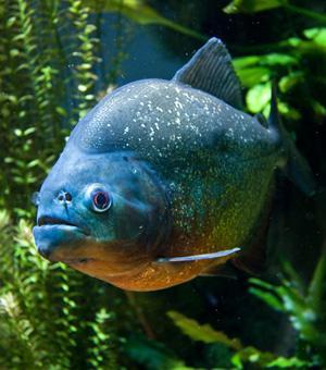 Red-bellied piranha - Pygocentrus nattereri
