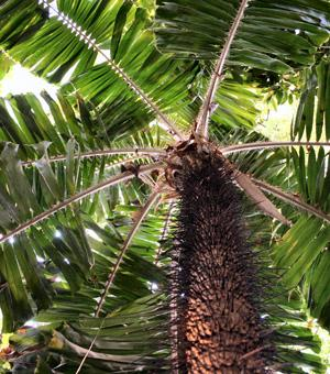 Ruffle palm, Coyure palm, Spine palm - Aiphanes horrida (syn. Aiphanes aculeata)