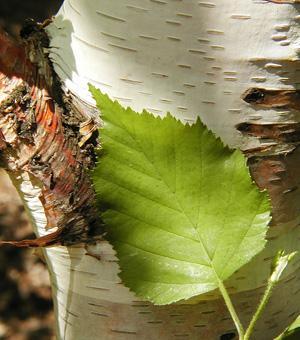 White birch, paper birch - Betula papyrifera