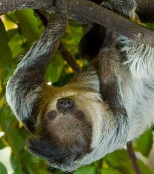 Southern two-toed sloth, Unau - Choloepus didactylus