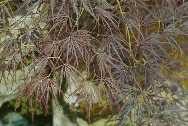 Japanese Maple (momiji)