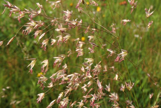 Wavy hairgrass