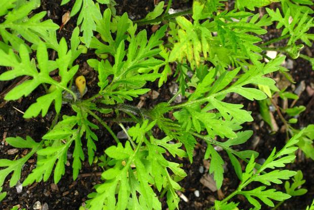 Petite herbe à poux (Ambrosia artemisiifolia) - jeune plant