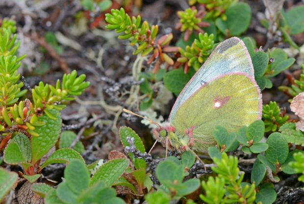 Colias nastes (Pieridae) Kuujjuaq