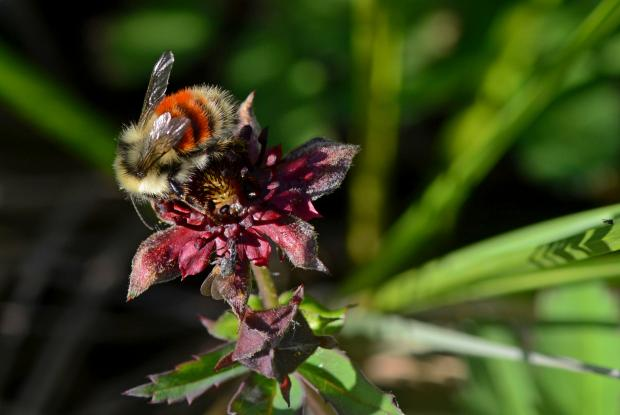 Bumblebee (Bombus sp.), Kuujjuaq