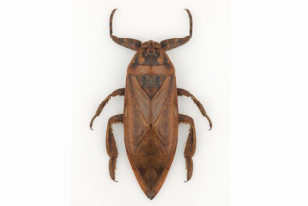 Lethocerus giganteus.