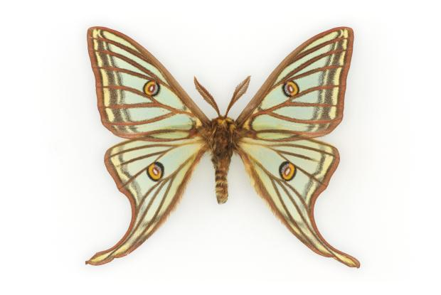 Graellsia isabellae.