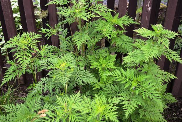 Petite herbe à poux (Ambrosia artemisiifolia)