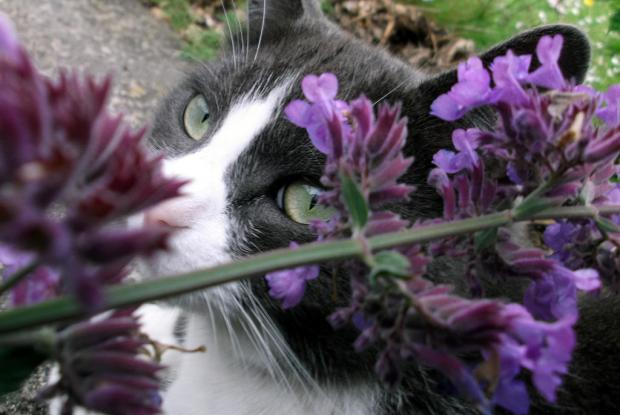 Chat et herbe-à-chat (Nepeta cataria)