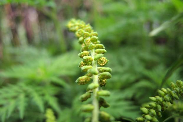 Petite herbe à poux (Ambrosia artemisiifolia) - fleurs mâles libérant le pollen