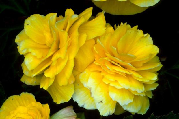Begonia tuberhybrida