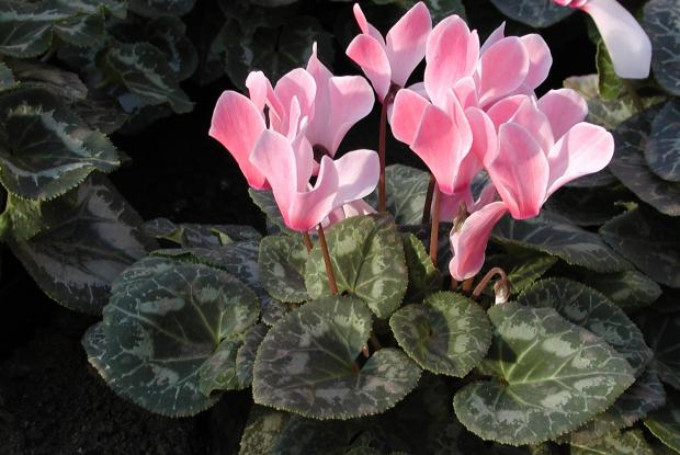 Cyclamen | Space for life on graptopetalum plant care, vriesea plant care, gloxinia plant care, osmanthus plant care, melampodium plant care, thunbergia plant care, ipomoea plant care, amorphophallus plant care, dicentra plant care, arum plant care, nierembergia plant care, moss plant care, senecio plant care, heuchera plant care, butterfly orchid plant care, lysimachia plant care, centaurea plant care, lamium plant care, doronicum plant care, sempervivum plant care,