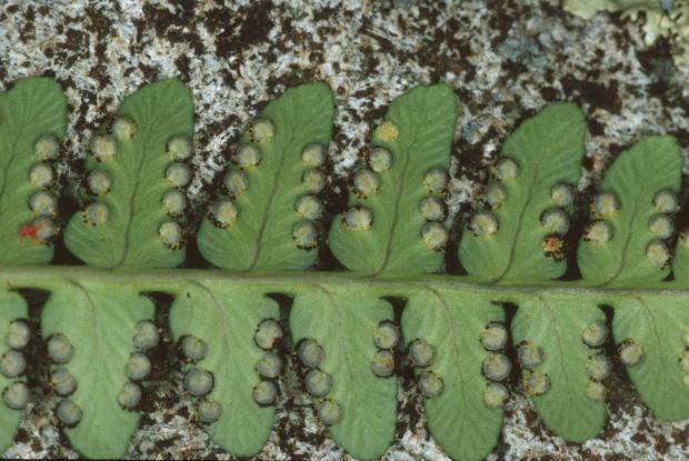 Dryopteris marginalis