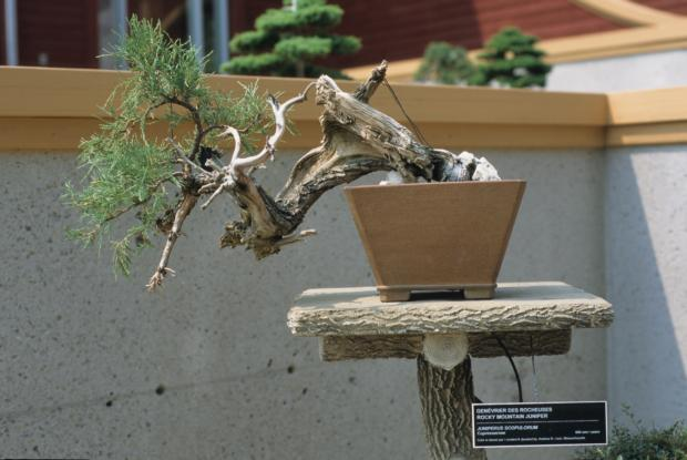 Juniperus scopulorum, Bonsai