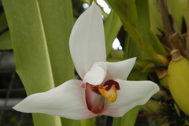 Maxillaria huebschii.